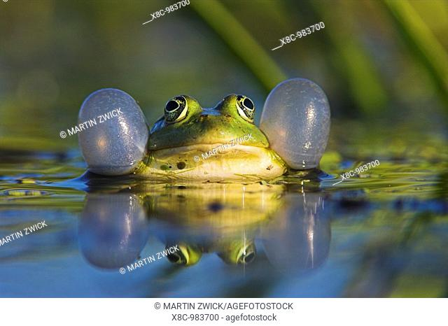 Edible Frog croaking, quacking Rana esculenta or Pelophylax kl  esculentus with inflated vocal sac visible in the Danube Delta between dense stands of Water...