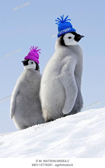 Emperor Penguins. Two young together wearing woolly hats (Aptenodytes forsteri)