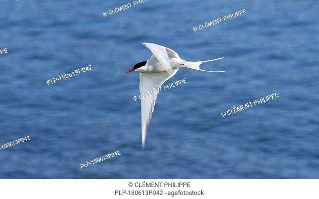 Arctic tern (Sterna paradisaea) flying over sea water / Atlantic Ocean