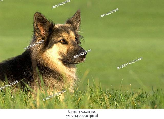 German Shepherd Alsatian
