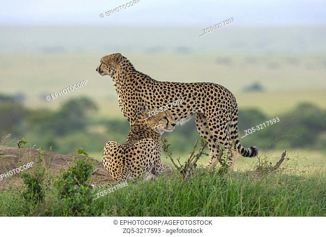 Two Cheetahs on a mount, Maasai Mara, Kenya, Africa