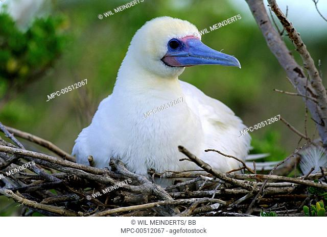 Red-footed Booby (Sula sula) on nest, Aldabra, Seychelles