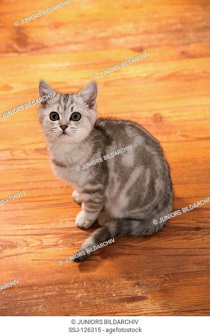 British Shorthair cat sitting - looking up restrictions:Tierratgeber-Bücher / animal guidebooks