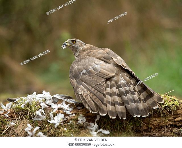 Northern Goshawk (Accipiter gentilis) female feeding on caught pigeon, shielding off her prey with her wings while looking at the camera, The Netherlands