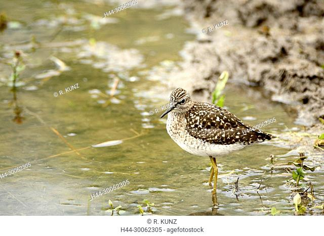 Wood Sandpiper, Tringa glareola, Scolopacidae, Sandpiper, wader, bird, animal, passage, La Sauge, nature reserve, wetland, Cudrefin, Canton of Vaud, Switzerland