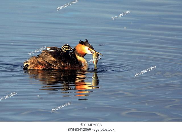 great crested grebe (Podiceps cristatus), in breeding plumage, swimming with a fish in the bill, Germany, Saxony-Anhalt, Geiseltalsee