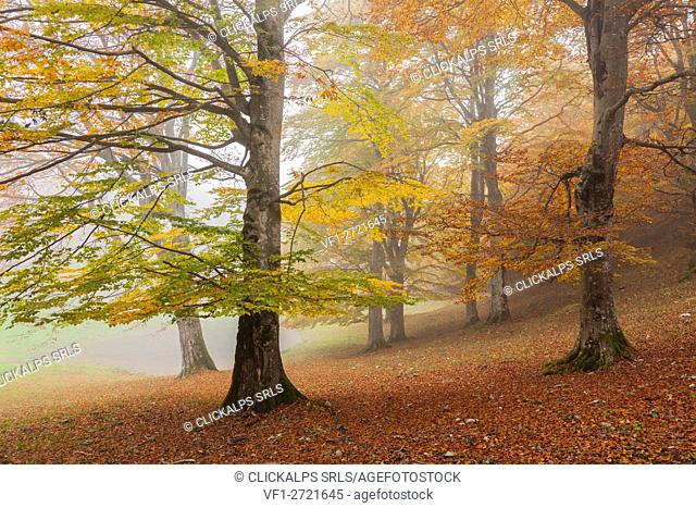 Baremone pass, Lombardy, Italy. Beeches in autumn