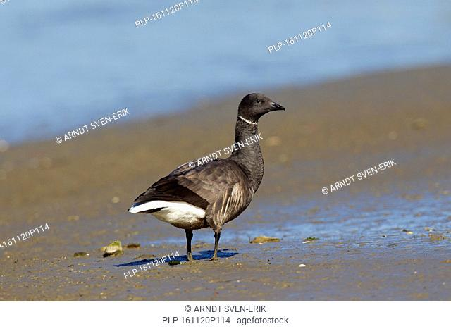 Brant goose / brent goose (Branta bernicla) foraging on mud flat