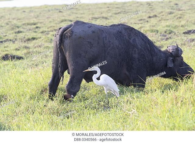 Africa, Southern Africa, Bostwana, Moremi National Park, savannah, African buffalo or Cape buffalo (Syncerus caffer) with a great Egret