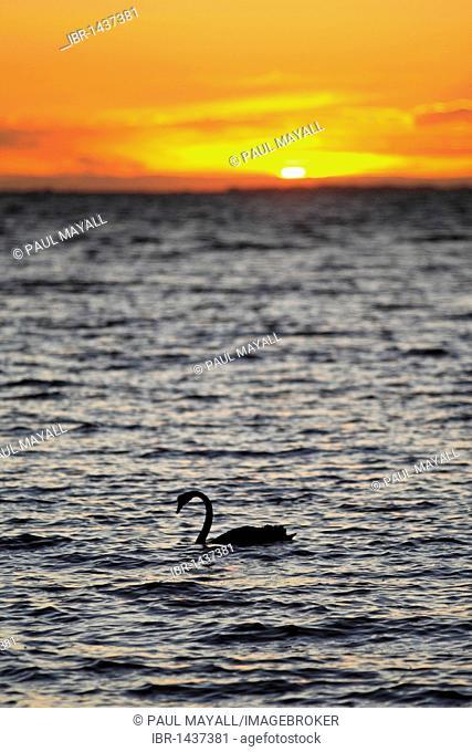 Black swan (Cygnus atratus) in the Great Southern Ocean at Sunset, Victoria, Australia