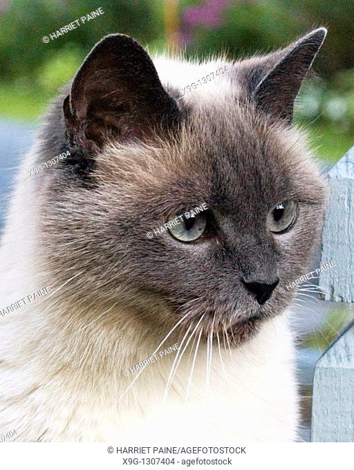Head shot of long haired Siamese/Burmese cat