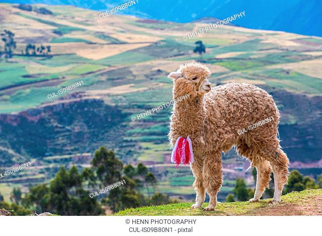 Young alpaca in the sacred valley, Peru