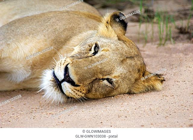 Lioness Panthera leo resting in a forest, Motswari Game Reserve, Timbavati Private Game Reserve, Kruger National Park, Limpopo, South Africa