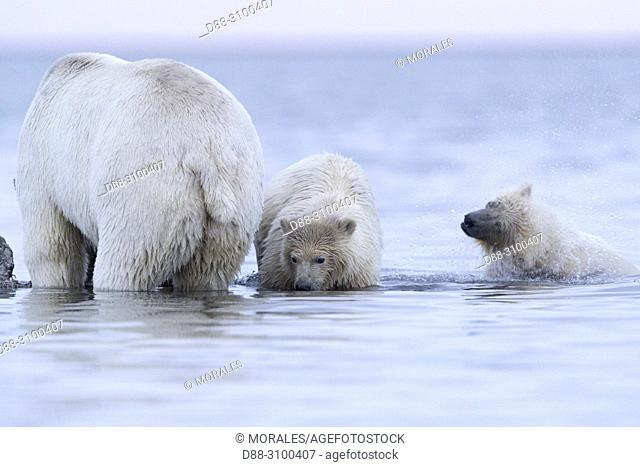United States, Alaska, Arctic National Wildlife Refuge, Kaktovik, Polar Bear( Ursus maritimus ), mother and babies along a barrier island outside Kaktovik