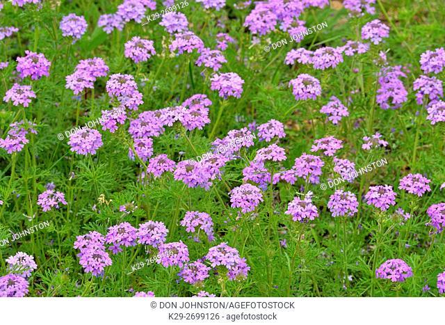 Prairie verbena (Glandularia bipinnatifida), Gillespie County, near Willow City, Texas, USA