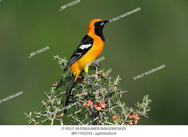 Hooded Oriole (Icterus cucullatus), male perched, Laredo, Webb County, South Texas, USA, America