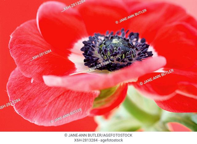 exquisite red anemone still life - red on red