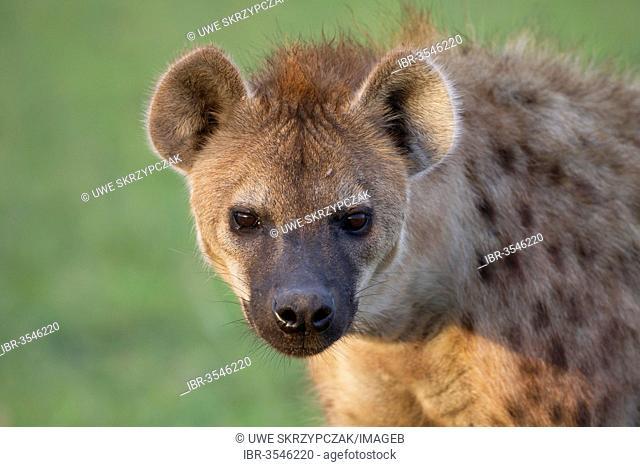 Spotted Hyena or Laughing Hyena (Crocuta crocuta)