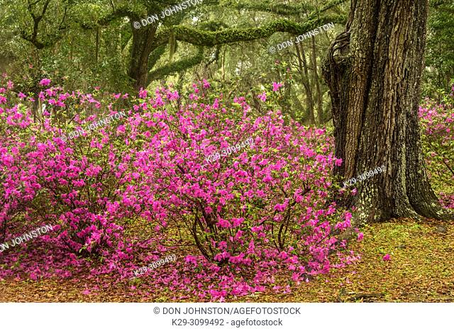 Flowering azaleas and southern live oak in early spring, Jungle Gardens, Avery Island, Louisiana, USA