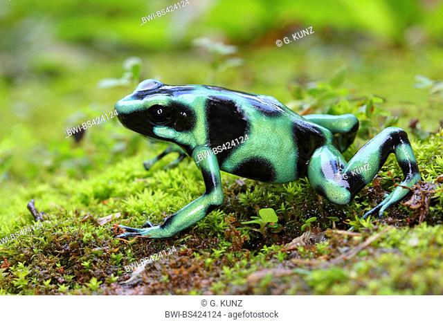 Green and black poison-arrow frog, Green and black poison frog (Dendrobates auratus), on moss, Costa Rica