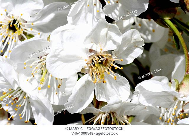 Large cluster of wild white cherry blossoms  Blossoms crowd the frame  Close-up  Open  Blossoms with detailed stamens  White  Fills frame