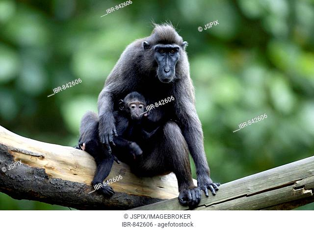 Celebes Crested Macaque or Crested Black Macaque (Macaca nigra), adult with infant, native to Borneo, Celebes