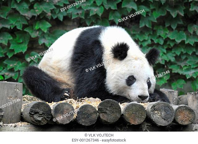 Alsleep panda