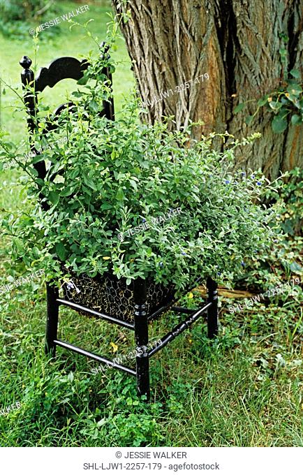 Gardens: Ladder back black chair in garden used as a planter for a green plant