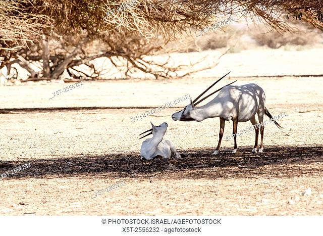 A Arabian Oryx (Oryx leucoryx). The Arabian oryx is a large white antelope, Almost totally extinct in the wild several groups have since been reintroduced to...
