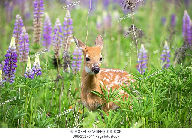 United States, Minnesota, White tailed Deer Odocoileus virginianus, baby, in a meadow with lupins