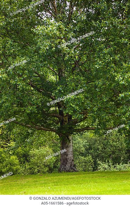 Birch tree Betula alba, Royal Golf Club of San Sebastian, Hondarribia, Guipuzcoa, Basque Country, Spain