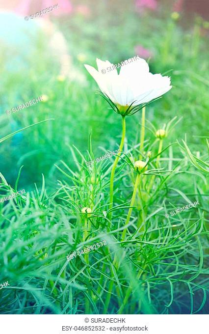 White cosmos flower (Also called as Spanish needle flower, Cosmos sulphureus Cav. Bidens bipinnata L., C. Sulphureus, paper flower, sun flower)