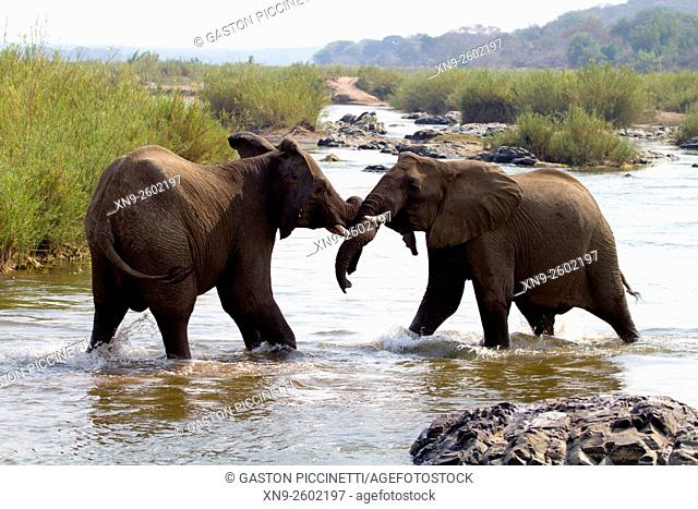 African Elephants (Loxodonta africana), fighting in the river, Kruger National Park, South Africa
