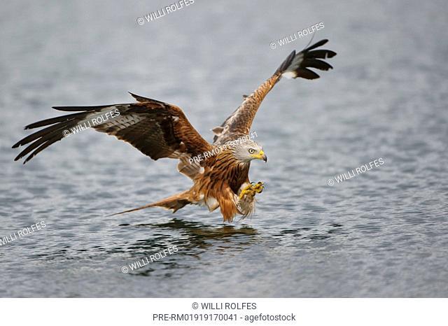 Red Kite hunting, Milvus milvus, Germany, Europe