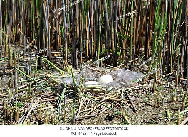 A Canada Goose nest with eggs among the phragmites of a meadowlands saltmarsh  Richard DeKorte Park, Lyndhurst, New Jersey, USA
