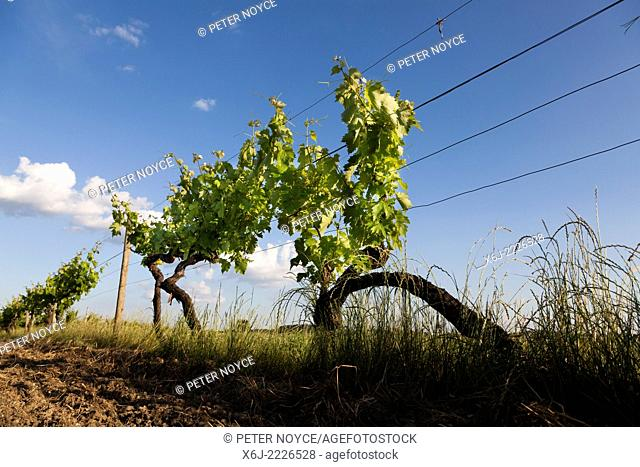 dramatic low angle view of grape vine in June against blue sky