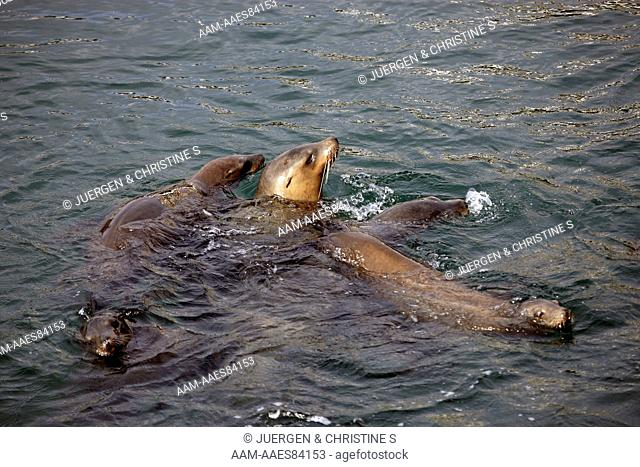 California Sea Lion group in water (Zalophus californianus) Monterey, California, USA
