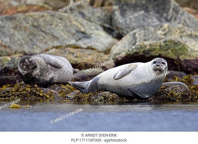 Two common seals / harbour seals (Phoca vitulina) resting on rocky coast, Svalbard / Spitsbergen, Norway