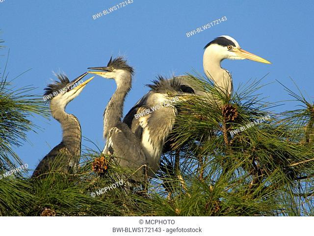 grey heron Ardea cinerea, adult with fledglings on pine