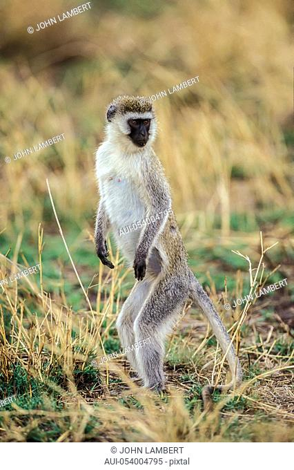 vervet monkey standing