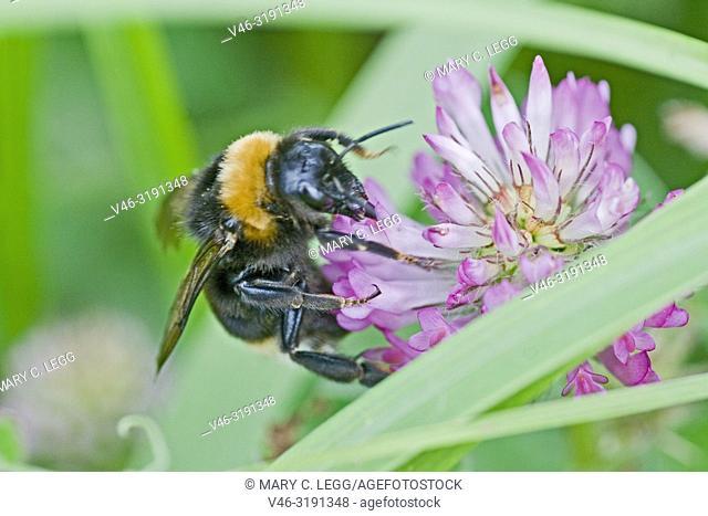 Bohemian Bumblebee, Bombus bohemicus on red clover. Bohemian Bumblebee, Bombus bohemicus. Large black bumblebee with orange stripe and buff tail