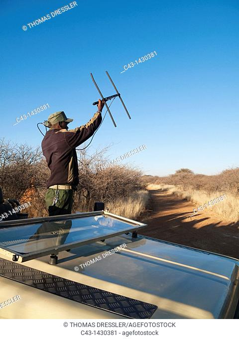 Radio tracking a cheetah at the Okonjima Lodge, home of the AfriCat Foundation, Namibia