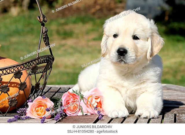 Golden Retriever. Puppy (7 weeks old) lying next to rose flowers on a garden table. Germany