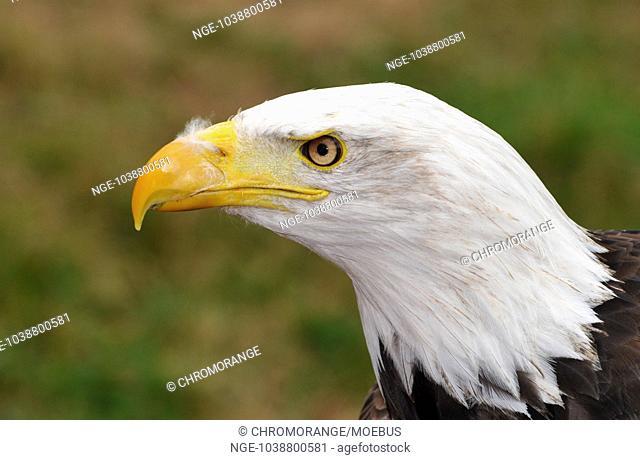 White head lake eagle
