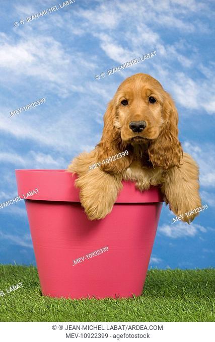 Dog - English Cocker Spaniel - puppy. in flowerpot
