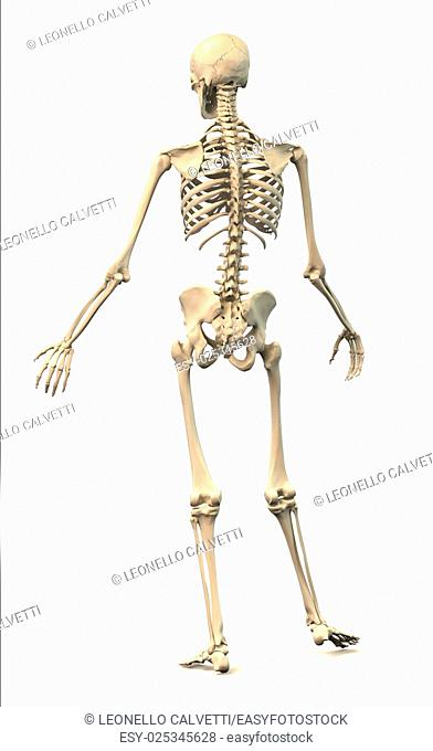 Male Human skeleton, extremely detailed and scientifically correct, in dynamic posture, rear view. On white background, clipping path included