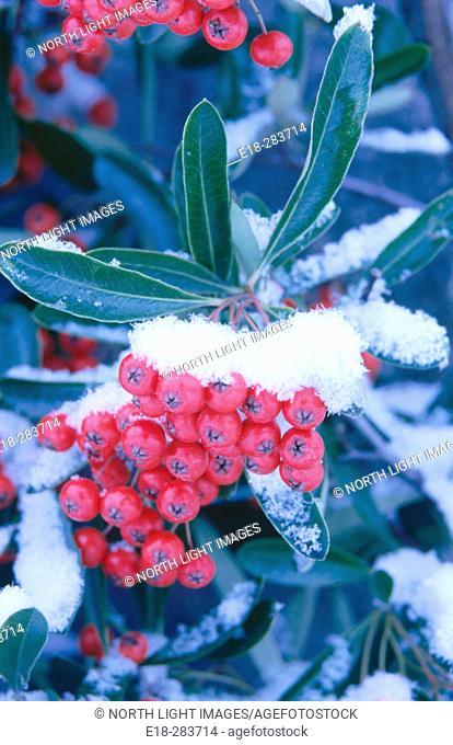 Firethorn bush and berries (Pyracantha sp.). British Columbia. Canada