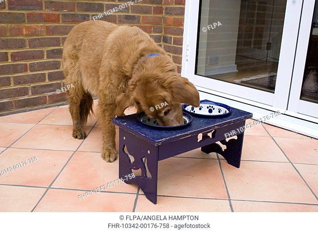 Domestic Dog, Golden Retriever, elderly dog eating from bowl in feeding stand, England