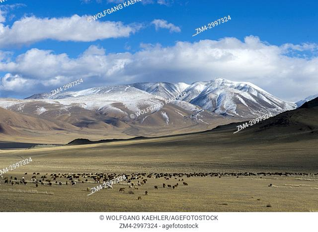 A herd of sheep grazing in a valley of the Altai Mountains near the city of Ulgii (Ölgii) in the Bayan-Ulgii Province in western Mongolia