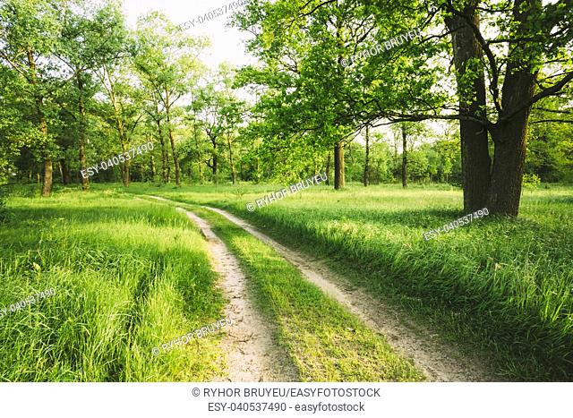 Beautiful green forest in summer. Old oak tree and dirty road, path, way, lane in countryside